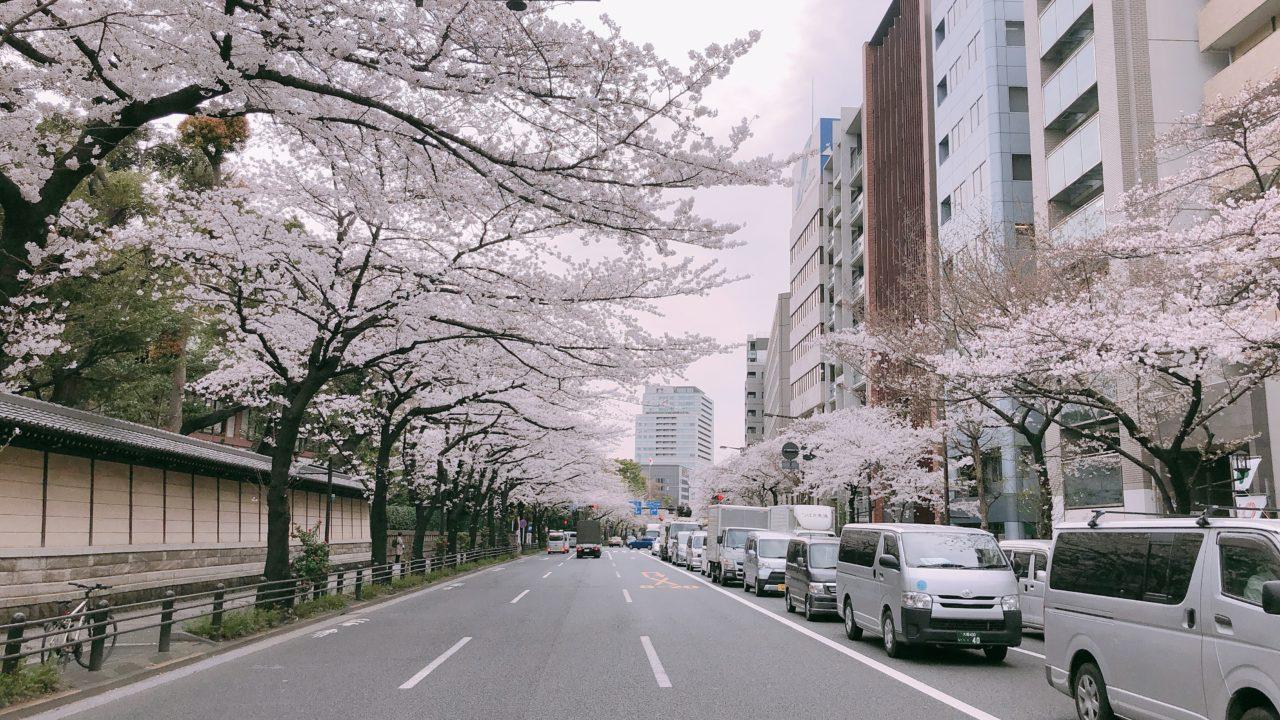 靖国通り 桜