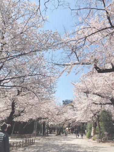 桜 靖国神社